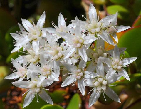 jadeflower.jpg